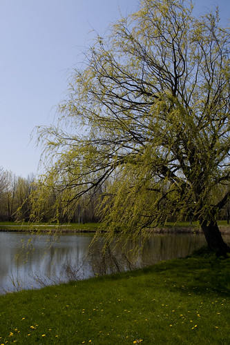 Willow by the lake