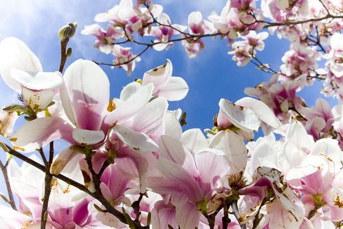 tulip_tree2