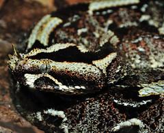 Rhinoceros viper (Jim Skovrider) Tags: nature animal denmark zoo nikon reptile snake danmark randers randersregnskov rhinocerosviper bitisnasicornis sb900 riverjack d300s nikond300s afsdxnikkor18200mmf3556gedvr
