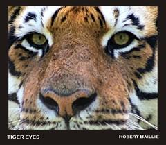 Tiger Eyes (Robert Baillie) Tags: fur mammal nose eyes feline tiger whiskers bigcat predator flickrbigcats