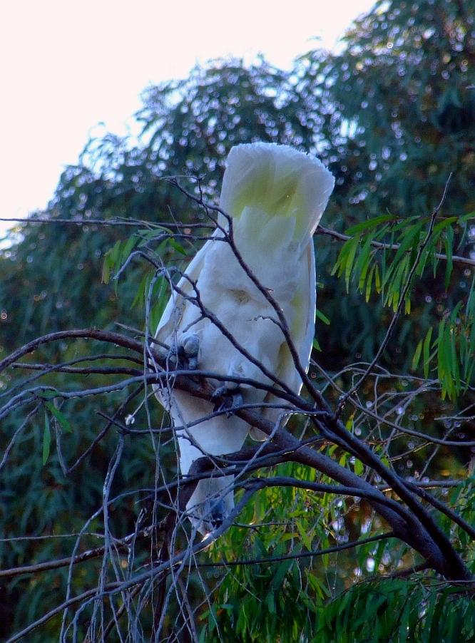 cockatoos rear end