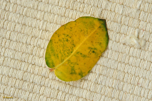 Diseased Mandevilla Leaf