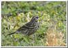 Rosy Pipit (Anthus roseatus) (Z.Faisal) Tags: bird nature nikon beak feathers aves nikkor bangladesh avian bipedal bangla faisal feni rosy desh d300 zamir pipit anthus tulika pakhi endothermic golapi nikkor300mmf4 muhuri anthusroseatus rosypipit zamiruddin vosplusbellesphotos roseatus zamiruddinfaisal zfaisal muhuriproject muhuridam golapitulika