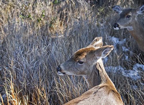 deer on FI