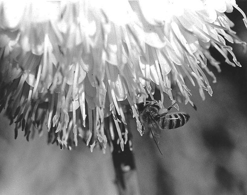 Huntington Botanical Gardens: Bee on Flower