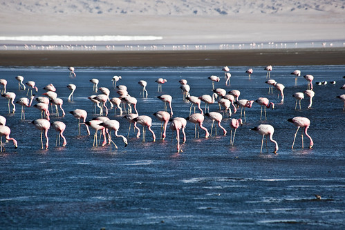 Pink Flamingos at Laguna Colorada (Red Lagoon)