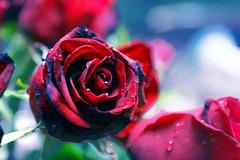 For all Victorians (RachaelMc) Tags: roses loss fire sadness tears destruction flames hell redrose australia victoria burning horror vic tribute fires devastation heartache fantasticflower rjmcdiarmid