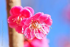 2_DSC9200-Flower, Plum Blossom, Taiwan -------- (HarryTaiwan) Tags: pink blue red sky white flower macro nature closeup spring asia branch blossom gardening vibrant plum taiwan spray growth stamen twig botanic   development plumblossom flowerhead  singleflower cultivated       harryhuang hgf78354ms35hinetnet