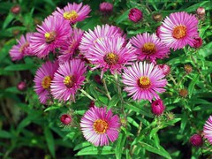 SYMPHYOTRICHUM novae-angliae 'Andenken an Paul Gerber'