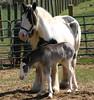 Pretty Queenie (Cosmopolitan Horse Farm) Tags: horse appaloosa cosmopolitan play birth running canter paddock filly foal drumhorse blagdon rockranch foaling irishcob gypsyvanner irishtinker gypsyhorse gypsycob gypsyfoal gypsycobfoal tinkerfoal