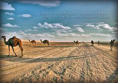 OUR LIFE.... (ДĿΚußαisї) Tags: sky canon iso100 sand desert s camel f56 guillaume doha qatar fisheyes 10mm 50d 1160 alkubaisi الكبيسي لكبسه theebalkubaisi