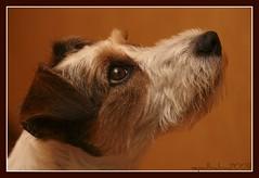 BILLA (nepalbaba) Tags: portrait dogs jrt ritratto cani billa parsonrussellterrier bej thegreatshooter paololivornosfriends nepalbaba