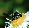 Monobia quadridens, Mason Wasp