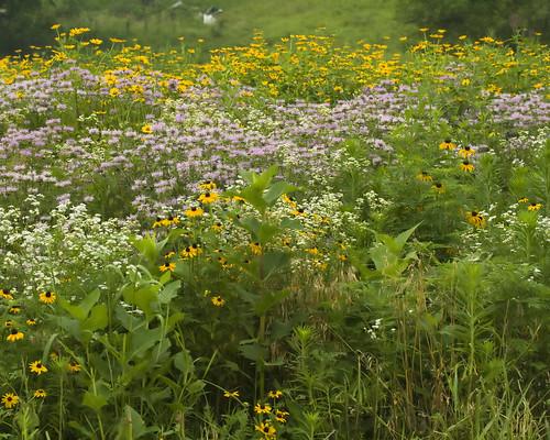 WildflowersEmiquonPrairieRd07112009JGWardIMG_4529