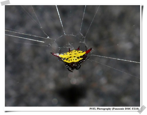 Gasteracantha sauteri - 梭德氏棘蛛
