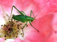 Grille / Cricket in the Rose (franzburghart) Tags: friends nature beautiful loveit harmony shiningstar aphoto exclusivity beautifulshot flickrcommunity youmademyday perfectpetals mywinners aplusphoto flickrhearts flickraward superhearts heartawards theunforgettablepictures betterthangood peaceawards highqualityimages brillianteyesjewel amazingmacros flickrflorescloseupmacros superamazingmacrosaward naturescreations fotografparadise lizasenchantingphotogarden platinumpeaceaward natureislive