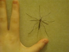 The Daddy of All Daddy Long Legs (xCupidxStuntx) Tags: uk bug insect daddy spider fly long legs crane creepy british crawly