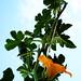 acorn squash vine