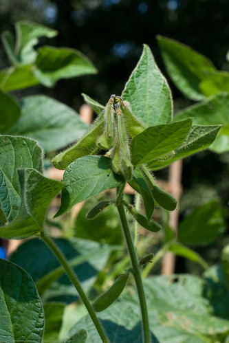 Humble Garden 2009: organic open pollinated soybeans