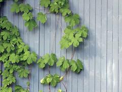 kynns (vaula) Tags: blue green colors wall suomi finland vine cc creativecommons sipoo sein vrit kynns