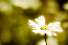 dastardly and muttley (harold.lloyd) Tags: bw flower perfect bright bokeh www here daisy 50mmf14 muttley nucular dastardly stillthere rly goodo hbw flyingmachines whenthehurlyburlysdone nonotthere daisery imsurethisusedapresetsomewherealongtheway sassafrassarassum hwwbwbwwwbbbhhbwwwbw waitrighthereillcheck waswhatiused