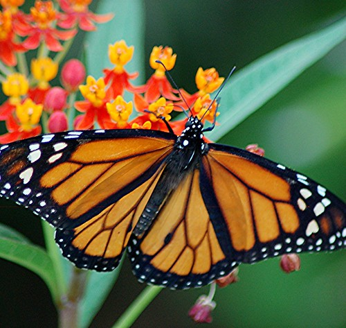 Full-winged Monarch Butterfly feeds on nectar and prepares to lay its eggs on gold, orange and pink Milkweed