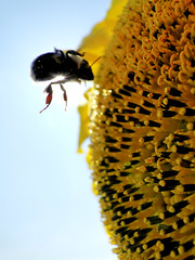 Airborne (W9NED) Tags: bee sunflower colorphotoaward dschx1