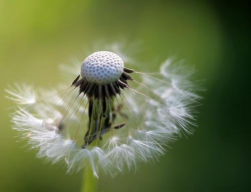 フリー画像| 植物| たんぽぽ/タンポポ| 綿毛|        フリー素材|
