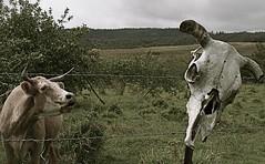 fate (xaolily) Tags: travel mountain animal landscape island hawaii cow traveller bigisland