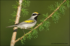 Golden-Winged Warbler on Tamarack (Greg Schneider (gschneiderphoto.com)) Tags: wild tree bird golden is perch usm winged decline warbler tamarack f56l goldenwinged gwwa ef800mm