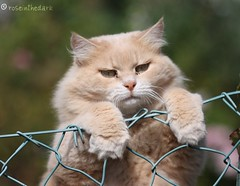 Try, try, try (roseinthedark) Tags: friends orange pet cat fence nose furry funny kitty fluffy bigcat lovely try determination milkandhoney supershot topseven kittysuperstar theunforgettablepictures platinumheartaward tup2 latteemiele
