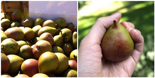 tiny seckel pears