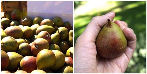 tiny seckel pears