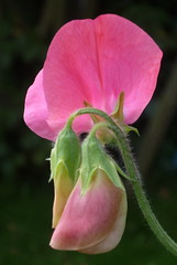 Sweet Pea (juliaellen.perry) Tags: summer flower sweetpea