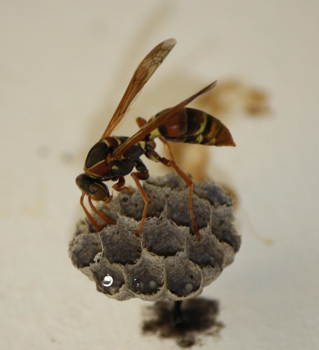How to Get Rid Of Wasp Nest Naturally