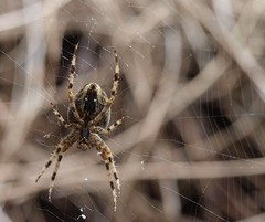 cross spider / Kreuzspinne