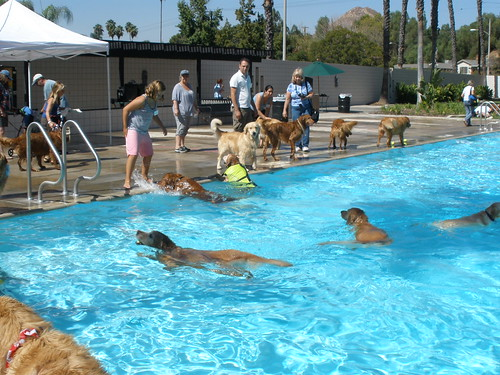 Dogtoberfest-swimming goldens