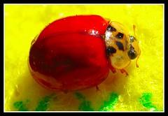 Coccinella....F1 Ferrari - (156) (Giannux) Tags: italy macro bird nature closeup lady canon nikon f1 ferrari giallo ladybird ladybug beetles rosso colori fortuna maranello balcone contrasto coccinella intenso cavallino vicino rampante panno portafortuna vileda rossoferrari