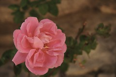 (cengizdehmen (turned back)) Tags: pink flower macro canon turkey eos leaf türkiye turkiye türkei safranbolu turquía turchia turque canonefs1785mmf456isusm karabük 400d τουρκία турецкий cengizdehmen