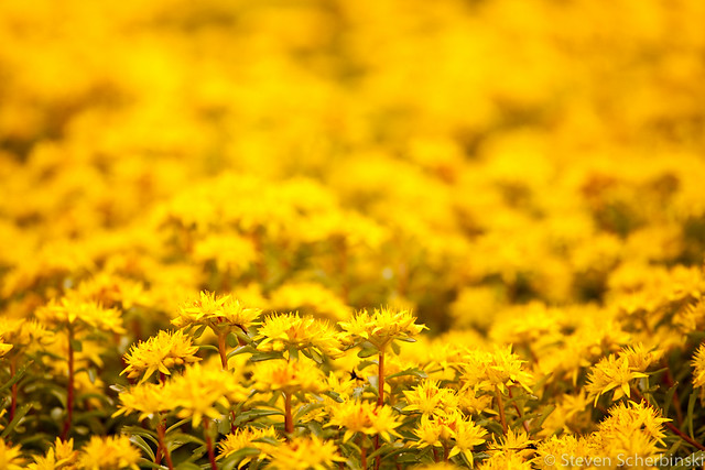 Field_of_Yellow