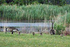waterfowl on the Eastern Shore (by: Lee Carson, creative commons license)