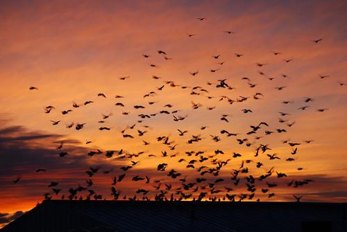 17 - Pigeon Flock Landing