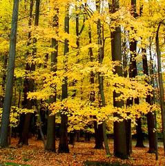 fall colors at Jockey Hollow (Steve from NJ) Tags: new trees orange fall colors leaves yellow 1025fav nj foliage jockey jersey hollow superaplus superhearts lunarvillage thefinalcrown artistsoftheyear platinumheartaward peopleschoiceplus photographersreallygonewild reallyreallyphotofantgroup