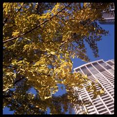 秋の光 II (gullevek) Tags: blue sky plants building tree 6x6 yellow japan geotagged iso100 tokyo fuji 日本 東京 秋 木 expired housebuilding expiredfilm 港区 rolleiflex28c epsongtx900 geo:lat=35661372 geo:lon=139759336 fujimultispeed1001000