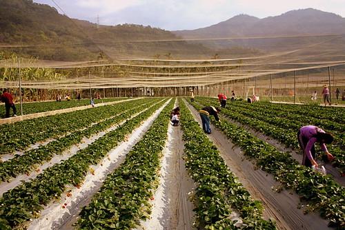 strawerry farm, puli