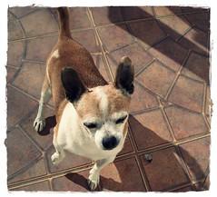 In Memory of Yordi...RIP (Srch) Tags: dog rip can perro canino yordi