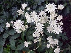 ASTRANTIA major ssp. involucrata 'Moira Reid'