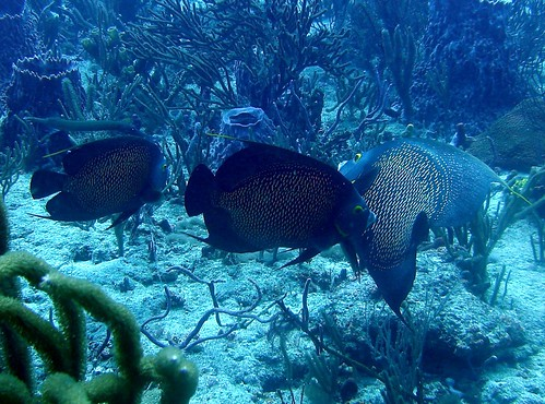 French Angelfish (Three)