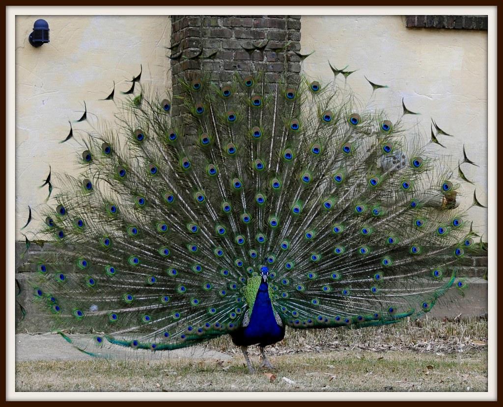 my favourite bird peacock essay I want an essay on `my favourite bird dove ' - 57489.