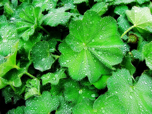 5 - Rain (Lady's mantle)